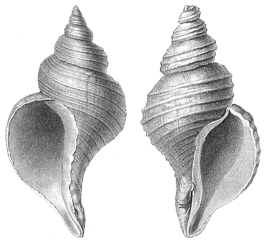 This seashell is a chiral objects. Source: Wikipedia.Org (http://bit.ly/26oKa4e)